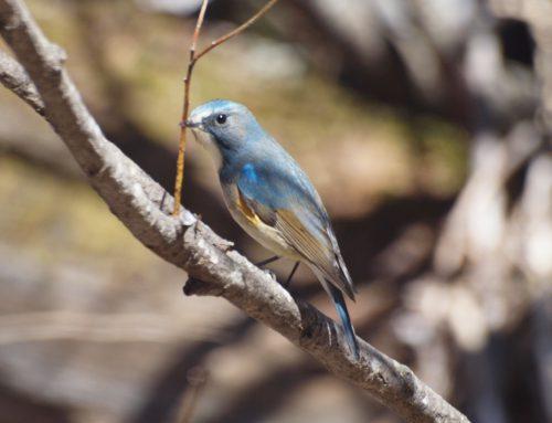 【上高地開山まであと29日】春の青い鳥