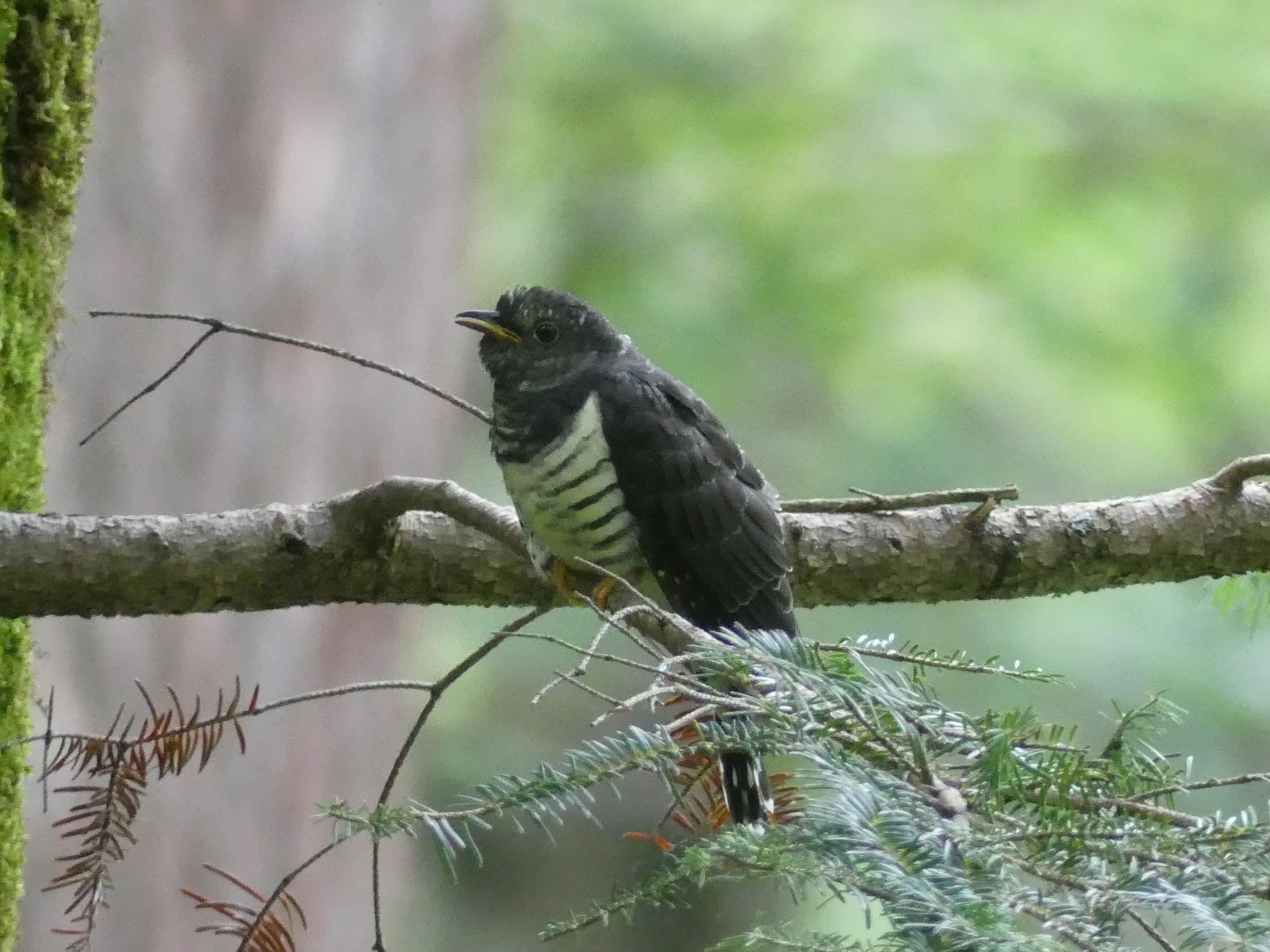 カッコウ科の幼鳥