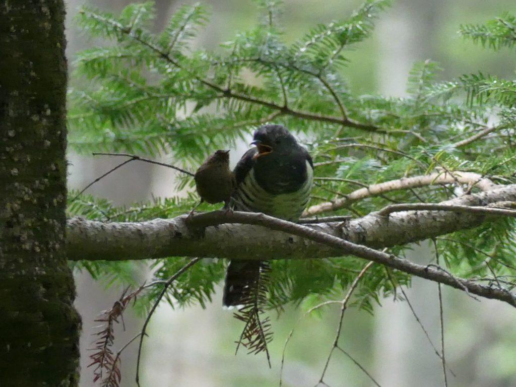 ミソサザイとカッコウ科の幼鳥