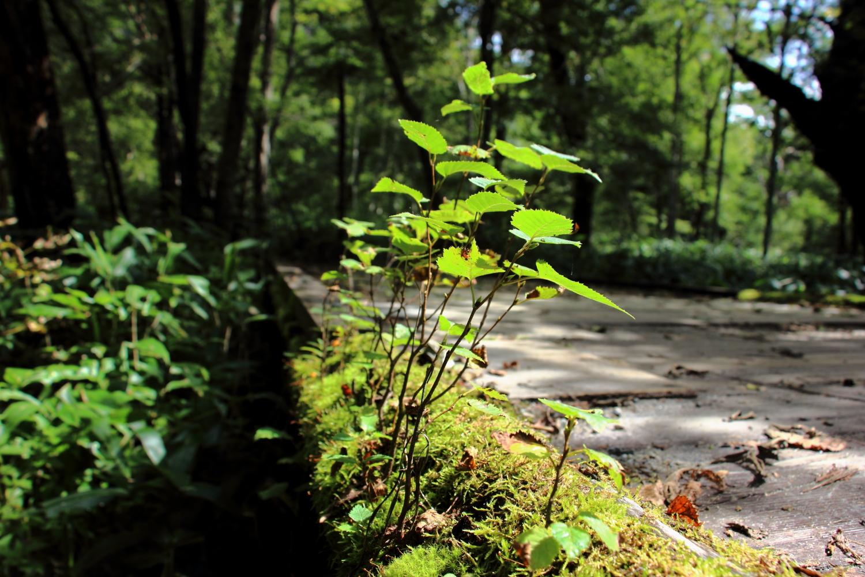 木道の苔の上に生えた木