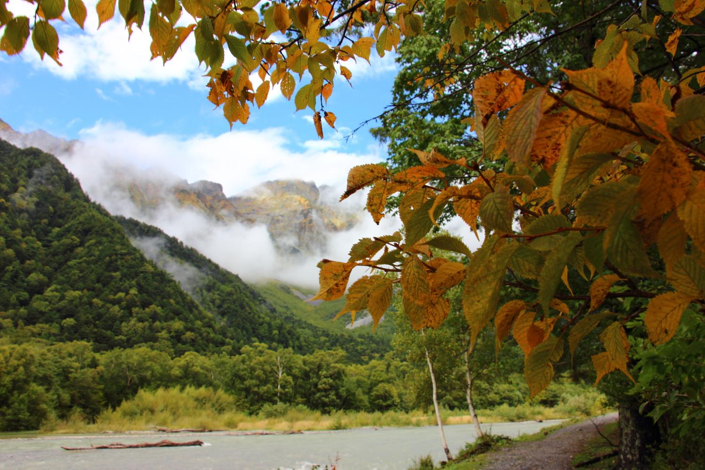 黄色く色づくミヤマザクラの葉
