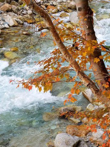 川とミネカエデ