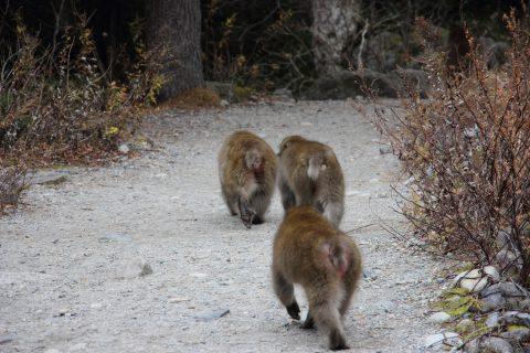 3匹仲良く歩くお猿