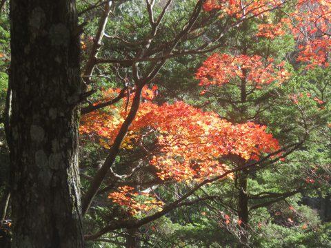 上高地のカエデ紅葉