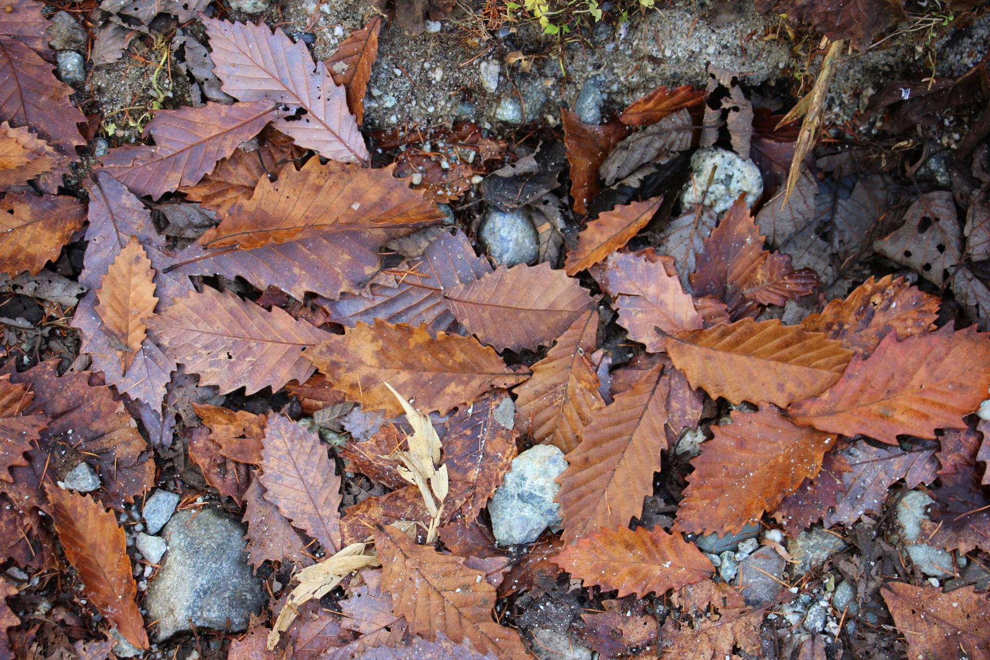 地面に落ちたミズナラの葉