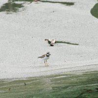 河原が好きな鳥