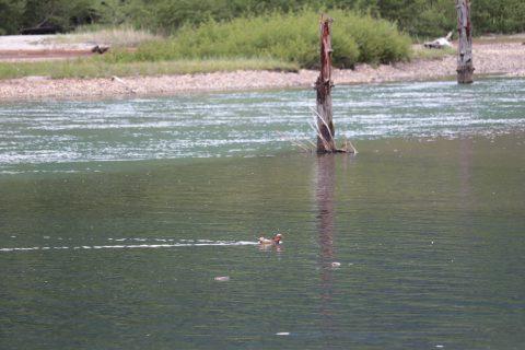 大正池とオシドリ