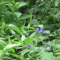 上高地には夏の花が増えています