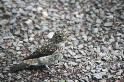 サメビタキの幼鳥