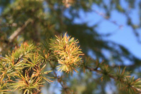 カラマツの葉