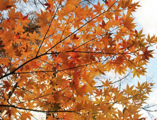 【上高地紅葉&黄葉情報2019 VOL.24】まだまだ続くモミジの紅葉