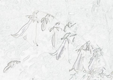 ソバナ塗り絵