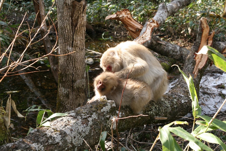 サルの毛づくろい