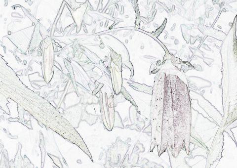 ヤマホタルブクロ塗り絵