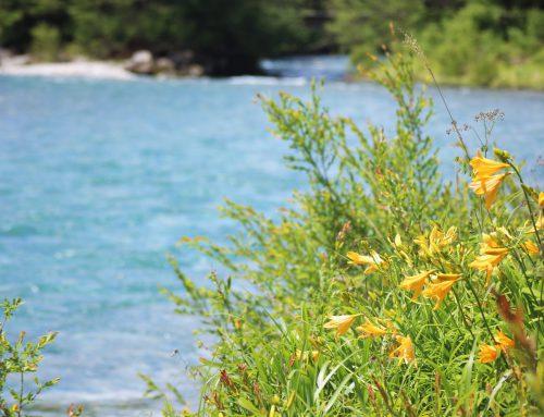 川沿いに咲く黄色い大きなお花