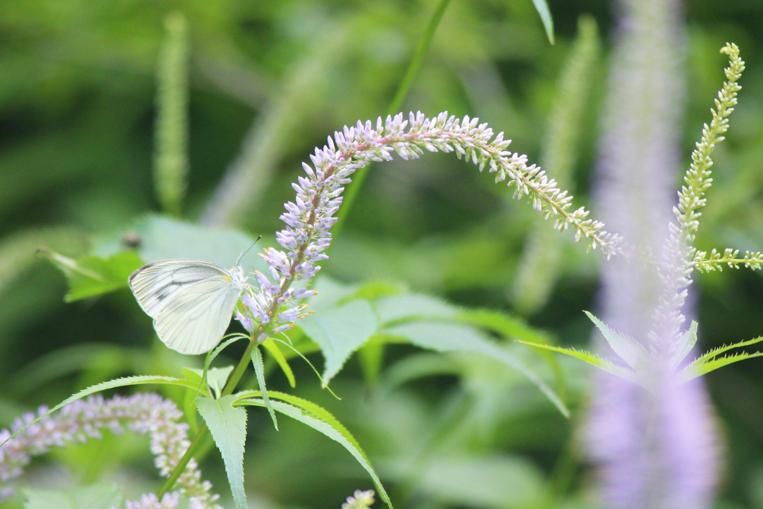 クガイソウと蝶々