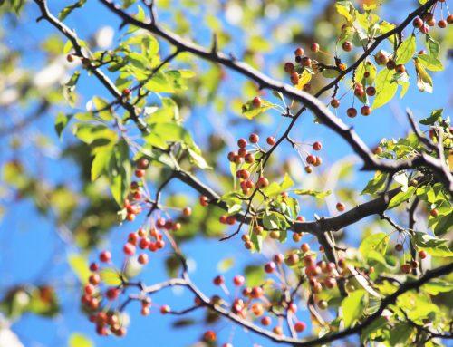 木の実が赤くなってきました!
