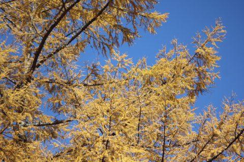 カラマツの黄葉