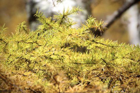 まだ少し緑色が残ったカラマツの黄葉