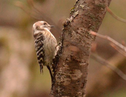 【講習さきどりコラム】鳥の特集~バードウォッチングまずはここから~