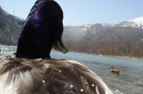 【講習さきどりコラム】上高地で最も身近な鳥