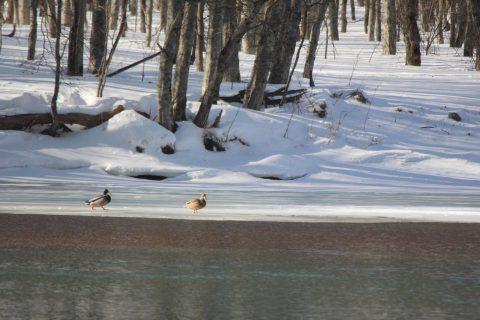 冬の大正池のマガモ