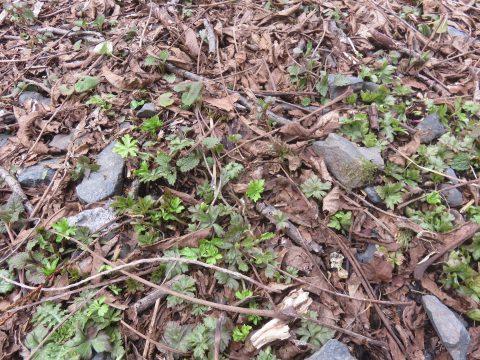 ニリンソウの芽