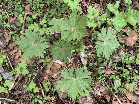 トリカブトの葉