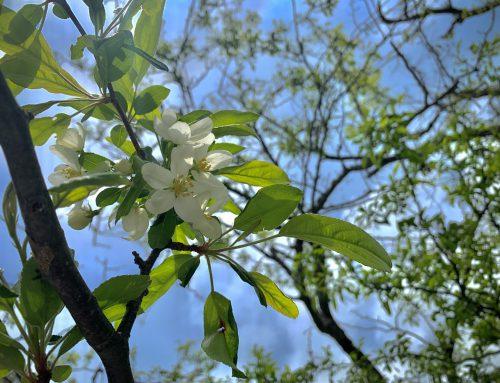 上高地の晩春を代表する「コナシ」が咲き始めています!