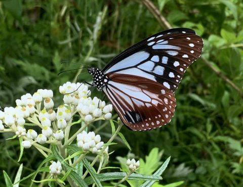 上高地に遊びに来たアサギマダラ。ガイドも大好きだけど、綺麗な蝶には毒がある…⁉