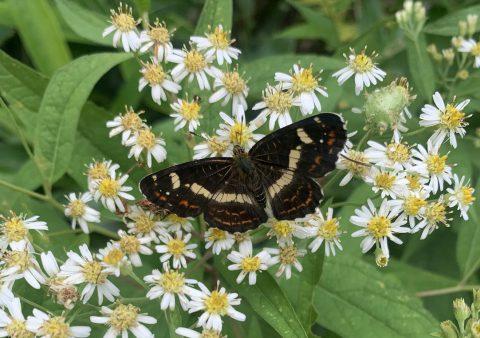 上高地に飛ぶ黒い蝶?逆さにした漢字の八を翅に持つ、サカハチチョウをガイドが紹介!
