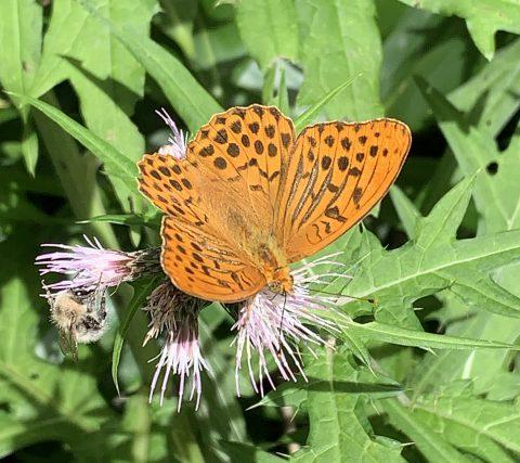 鮮やなオレンジが上高地に舞う!ガイドが是非見てほしい蝶、ミドリヒョウモン