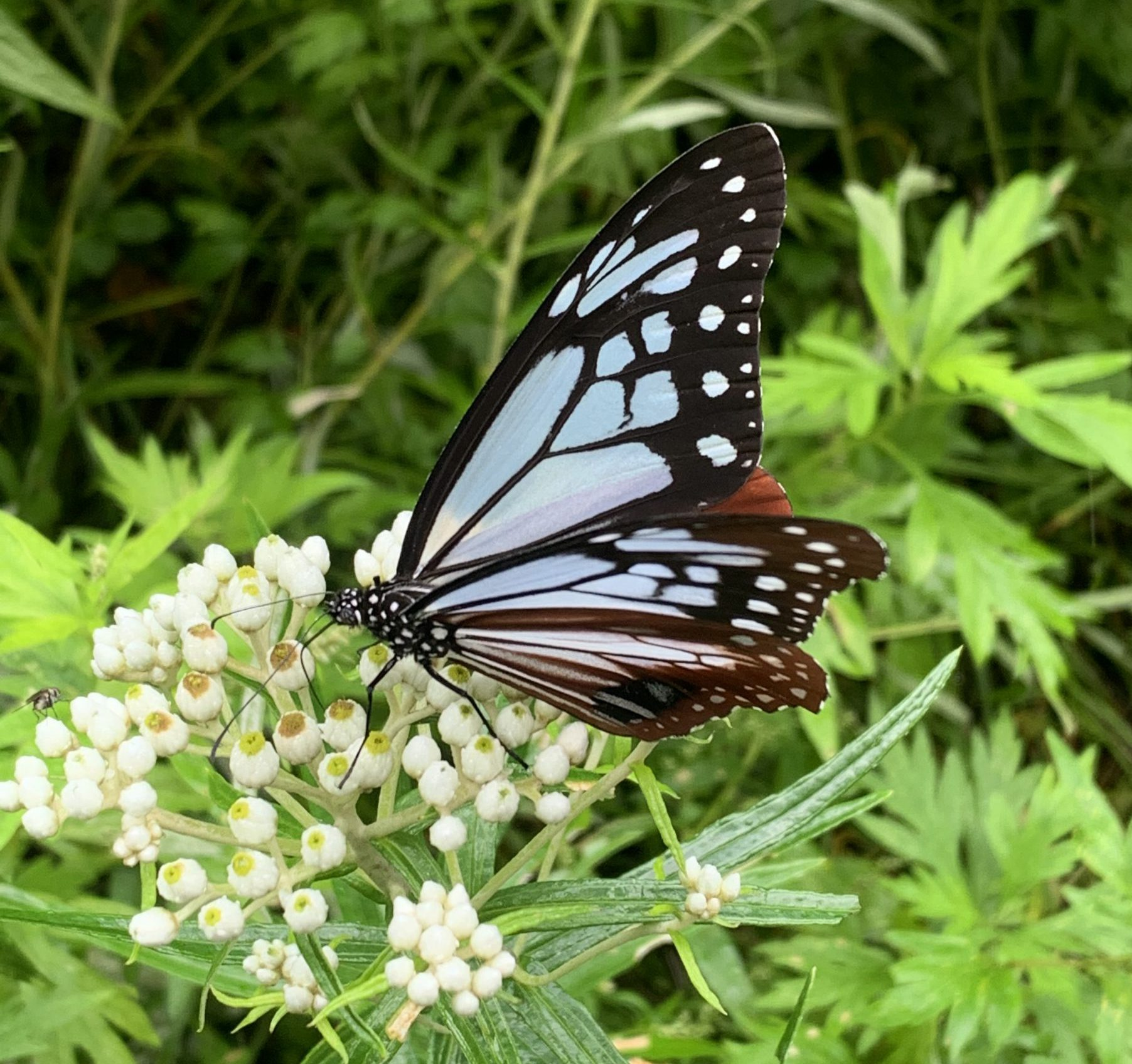 上高地にも遂に飛来!ガイド一押しの旅する蝶、アサギマダラ