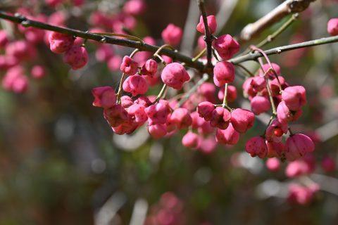 ネイチャーガイドのおすすめ:真っ赤な実を付け紅葉するマユミ