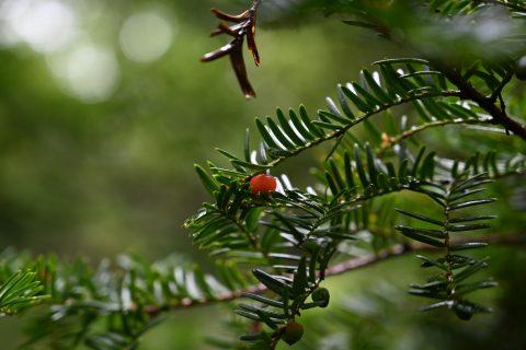 今週の上高地のガイドのおすすめ!野鳥たちが好んで食べるイチイの木の実