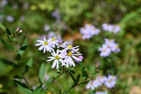 ネイチャーガイドの一押しのお花:秋に見頃を迎えるノコンギク