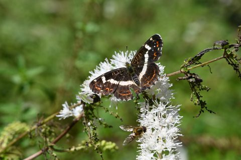 上高地の秋を代表するお花「サラシナショウマ」に集まるサカハチチョウ