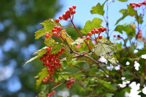 ネイチャーガイドと上高地に秋を感じさせる木の実:カンボク