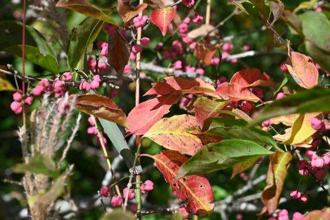 ネイチャーガイドのおすすめ:赤く紅葉する上高地のマユミ