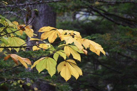 ネイチャーガイドおすすめ紅葉の季節、上高地の黄色く色付く葉っぱ:トチノキ